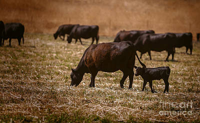 Cow Photograph - Cow And Calf Grazing by David Millenheft