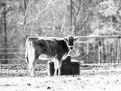 Got Milk Photograph - Cow From Jersey by Robert Yaeger