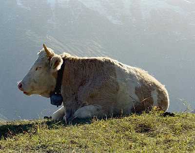 Cow From The Alps Print by Marcio Faustino