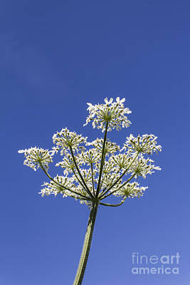 Keck Photograph - Cow Parsley by Brian Roscorla