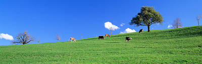 Agronomy Photograph - Cows, Canton Zug, Switzerland by Panoramic Images