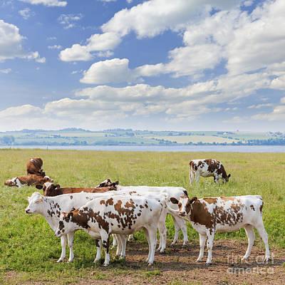 Cows In Pasture Print by Elena Elisseeva