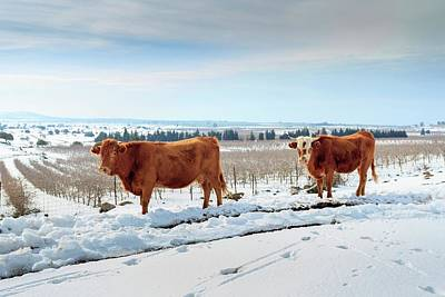 Snowscape Photograph - Cows In Snow by Photostock-israel