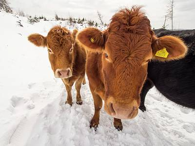 Drifting Snow Photograph - Cows In Winter by Ashley Cooper