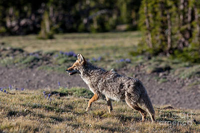 Coyote Photograph - Coyote At Dusk by Natural Focal Point Photography