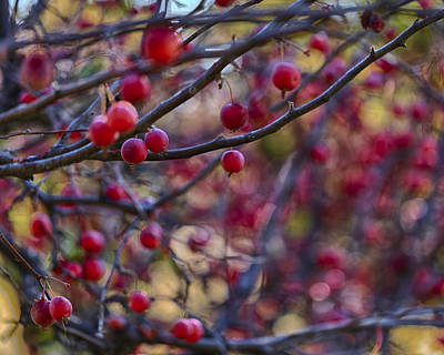 Orange Photograph - Crab Apples 3 by Scott Campbell