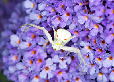 Crab Spider On A Buddleia Flower Print by Louise Murray