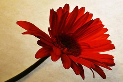 Sunburst Floral Still Life Photograph - Cranberry Zinnia by Sherry Allen