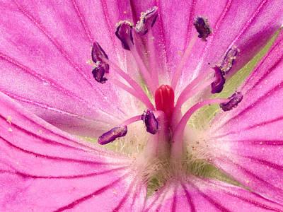 Cranesbill Geranium Close Up Print by Jean Noren