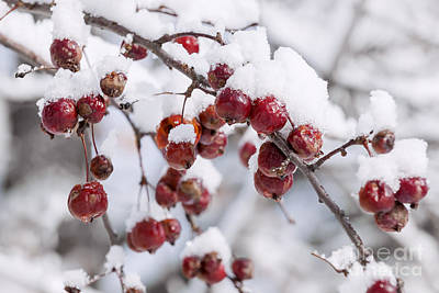 Hoarfrost Photograph - Crab Apples On Snowy Branch by Elena Elisseeva