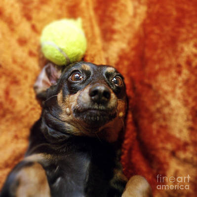 Lazy Dog Photograph - Crazy Daschund by Angel  Tarantella