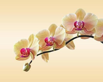 Orchids Photograph - Cream Delight by Gill Billington