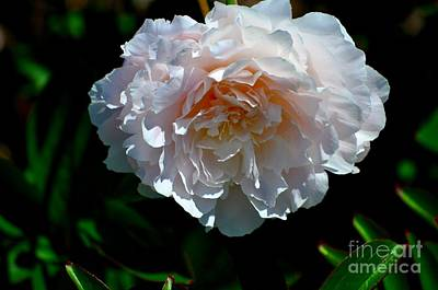 Plant Photograph - Cream Peony by Mandy Judson