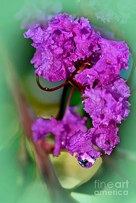 Crepe Myrtle With Droplet By Kaye Menner  Print by Kaye Menner