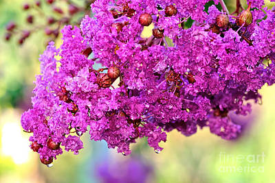 Crepe Myrtle With Droplets By Kaye Menner Print by Kaye Menner