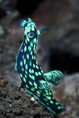 Crested Nudibranch Print by Ethan Daniels