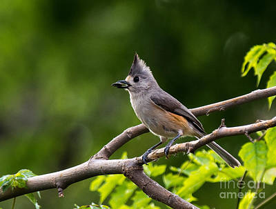 Crested Titmouse Original by Bob Marquis