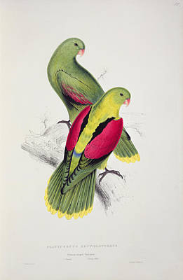 Parakeet Drawing - Crimson Winged Parakeet by Edward Lear