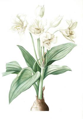 Ant Drawing - Crinum Giganteum, Crinum Gèant Giant Spider Lily by Artokoloro