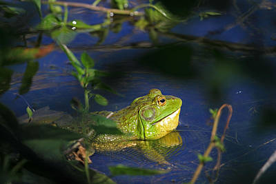 Bullfrogs Photograph - Croaking Bullfrog by Donna Kennedy