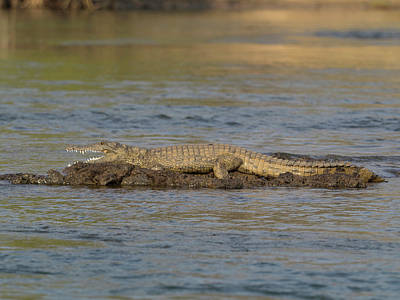 Crocodile Cooling Off On Rock Print by Panoramic Images
