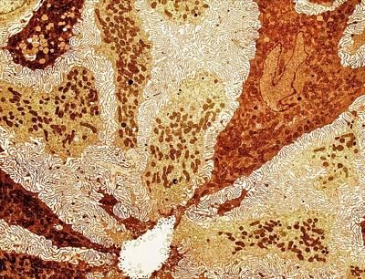 Crocodile Salt Gland Print by Ammrf, University Of Sydney