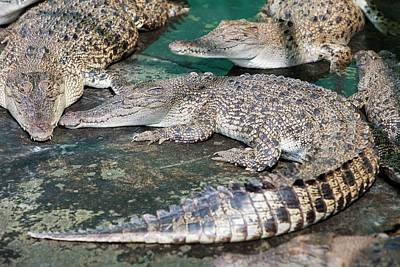 Reptiles Photograph - Crocodiles by Ashley Cooper