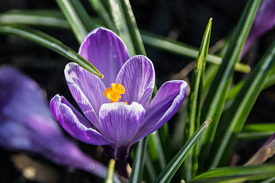 Green Photograph - Crocus And Grass by Photographic Arts And Design Studio