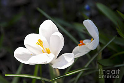 Crocus Flowers Photograph - Crocus Flower Basking In Sunlight by Elena Elisseeva