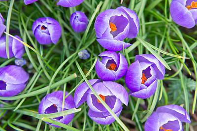 Violet Photograph - Crocus Flowers by Tom Gowanlock
