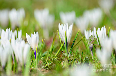 Beauty Photograph - Crocus In Springtime by Sabine Jacobs