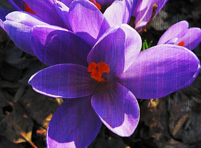 Crocus Purple And Orange Print by Patricia Januszkiewicz