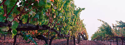Crops In A Vineyard, Sonoma County Print by Panoramic Images
