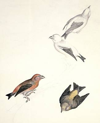 Crossbills, 19th Century Artwork Print by Science Photo Library