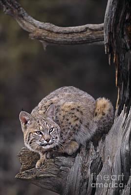 Crouching Bobcat Montana Wildlife Print by Dave Welling