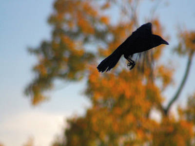 Crow In Flight 3 Print by Gothicolors Donna Snyder