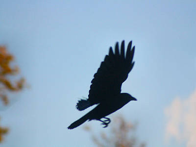 Crow In Flight 5 Print by Gothicolors Donna Snyder