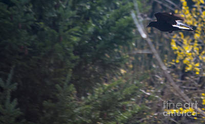 Outdoor Photograph - Crow In Flight by Mandy Judson