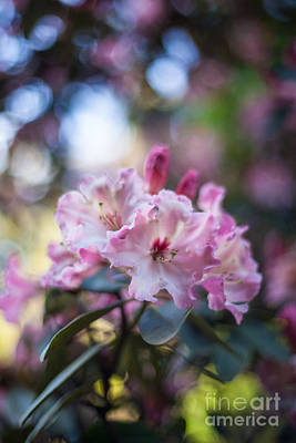 Rhododendron Photograph - Crown Of Rhodies by Mike Reid