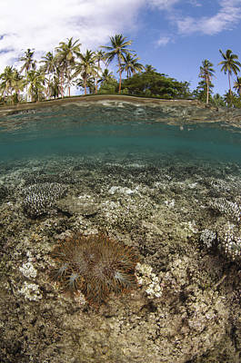 Day Lilly Photograph - Crown-of-thorns Starfish Fiji by Pete Oxford