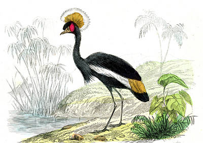 1859 Photograph - Crowned Crane by Collection Abecasis