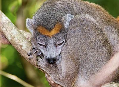 Lemur Photograph - Crowned Lemur Female by Dr P. Marazzi