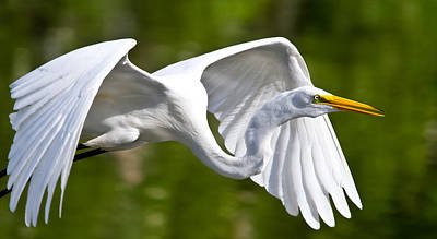 Fly Photograph - Cruising Egret by Andres Leon
