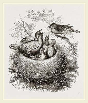 Cuckoo Drawing - Cuckoo In Hedge-sparrows Nest by Litz Collection