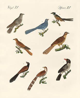 Cuckoo Drawing - Cuckoos From Various Countries by Splendid Art Prints