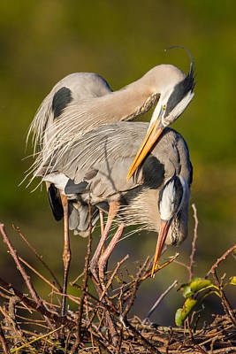 Cuddling Great Blue Herons Print by Andres Leon
