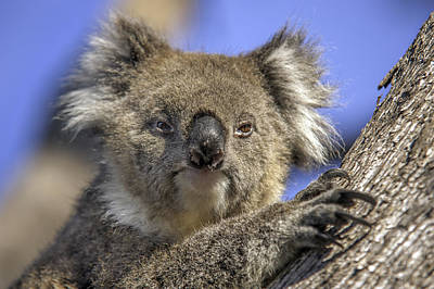 Cute Tree Images Photograph - Cuddly Koala by Ray Warren