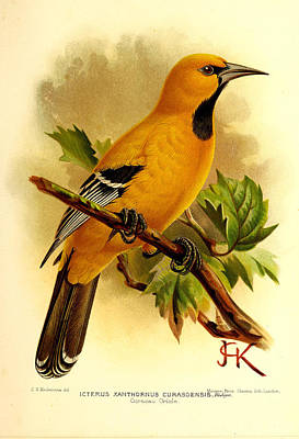 Oriole Painting - Curacao Oriole by J G Keulemans