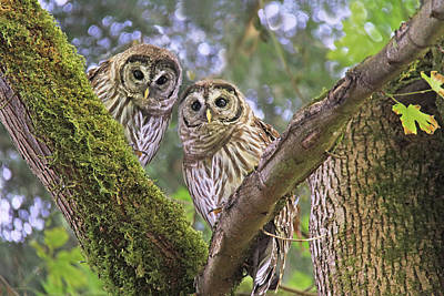 Curious Barred Owlets Print by Jennie Marie Schell