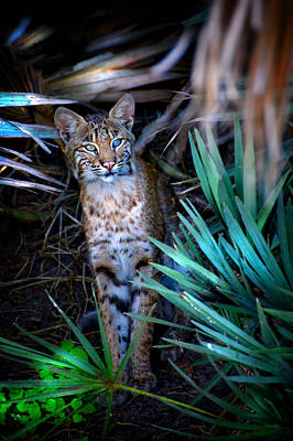 Curious Bobcat Print by Mark Andrew Thomas